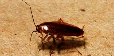 Las cucarachas