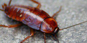 cucarachas-tienen-mandibula-5-veces-mas-fuerte-humano