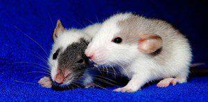 rat-1031859_960_720