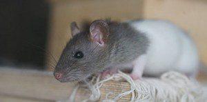rat-1520339_960_720