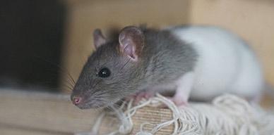 Las ratas provocan grandes pérdidas en los negocios. Cómo combatir y prevenir una plaga