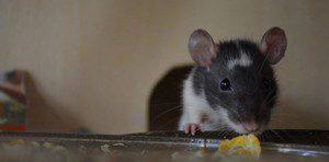 rat-833569_960_720