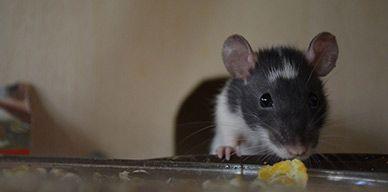 Cómo revertir la presencia de las ratas